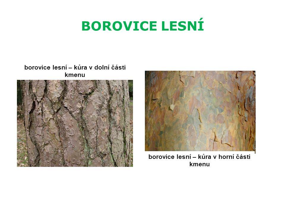 BOROVICE LESNÍ borovice lesní – kůra v dolní části kmenu borovice lesní – kůra v horní části kmenu