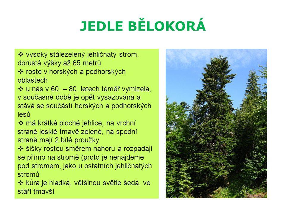 JEDLE BĚLOKORÁ  vysoký stálezelený jehličnatý strom, dorůstá výšky až 65 metrů  roste v horských a podhorských oblastech  u nás v 60. – 80. letech