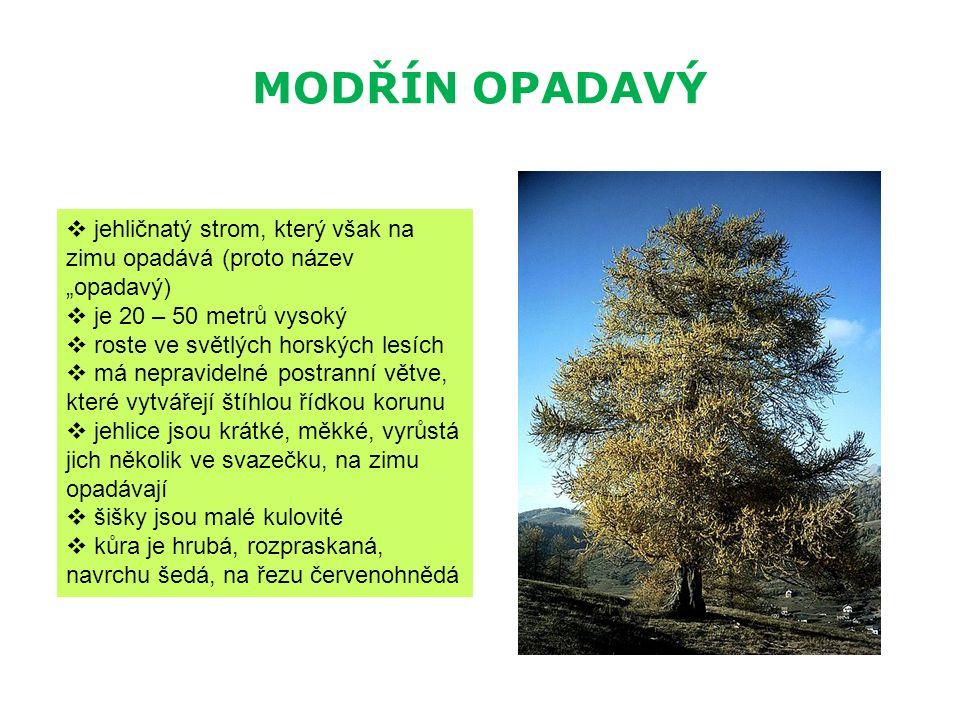 """MODŘÍN OPADAVÝ  jehličnatý strom, který však na zimu opadává (proto název """"opadavý)  je 20 – 50 metrů vysoký  roste ve světlých horských lesích  m"""