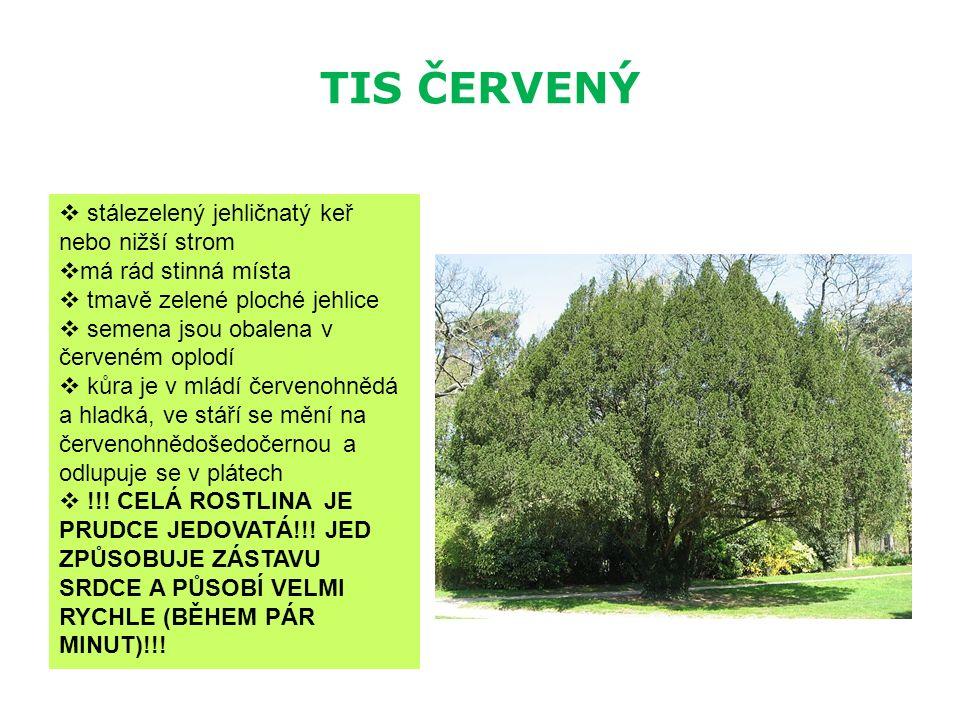 TIS ČERVENÝ  stálezelený jehličnatý keř nebo nižší strom  má rád stinná místa  tmavě zelené ploché jehlice  semena jsou obalena v červeném oplodí