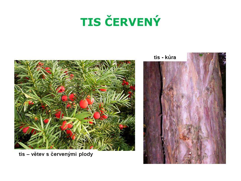 TIS ČERVENÝ tis – větev s červenými plody tis - kůra
