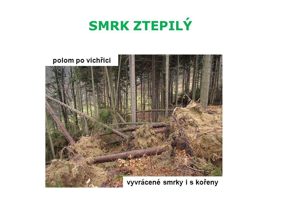 SMRK ZTEPILÝ polom po vichřici vyvrácené smrky i s kořeny