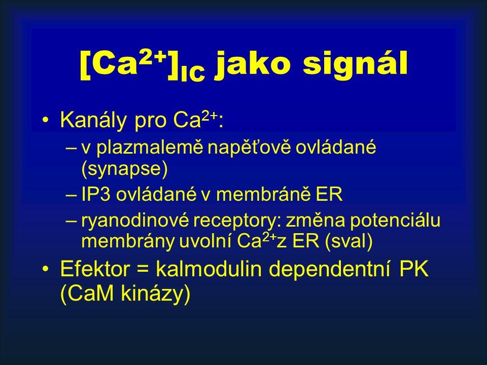 [Ca 2+ ] IC jako signál Kanály pro Ca 2+ : –v plazmalemě napěťově ovládané (synapse) –IP3 ovládané v membráně ER –ryanodinové receptory: změna potenciálu membrány uvolní Ca 2+ z ER (sval) Efektor = kalmodulin dependentní PK (CaM kinázy)