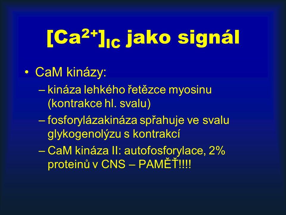 [Ca 2+ ] IC jako signál CaM kinázy: –kináza lehkého řetězce myosinu (kontrakce hl.