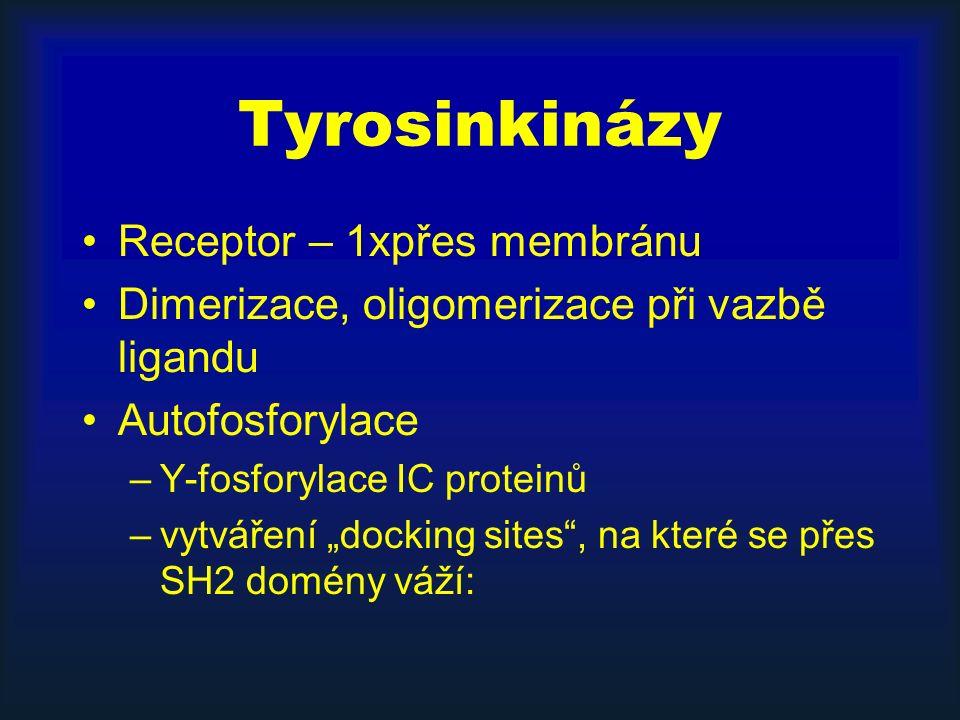 """Tyrosinkinázy Receptor – 1xpřes membránu Dimerizace, oligomerizace při vazbě ligandu Autofosforylace –Y-fosforylace IC proteinů –vytváření """"docking sites , na které se přes SH2 domény váží:"""
