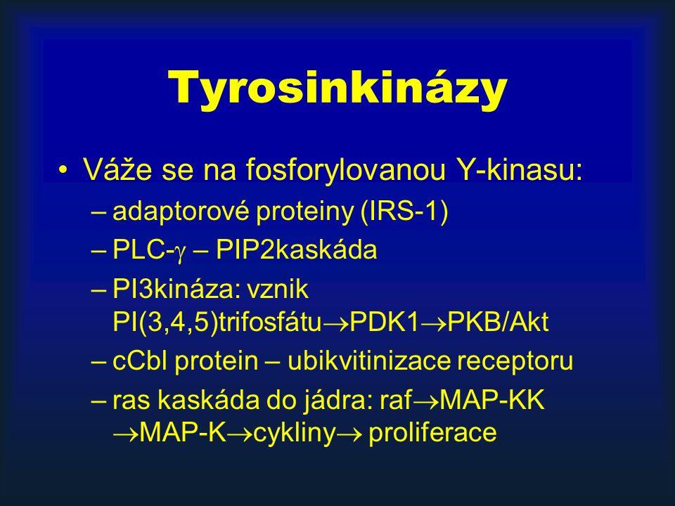 Tyrosinkinázy Váže se na fosforylovanou Y-kinasu: –adaptorové proteiny (IRS-1) –PLC-  – PIP2kaskáda –PI3kináza: vznik PI(3,4,5)trifosfátu  PDK1  PKB/Akt –cCbl protein – ubikvitinizace receptoru –ras kaskáda do jádra: raf  MAP-KK  MAP-K  cykliny  proliferace