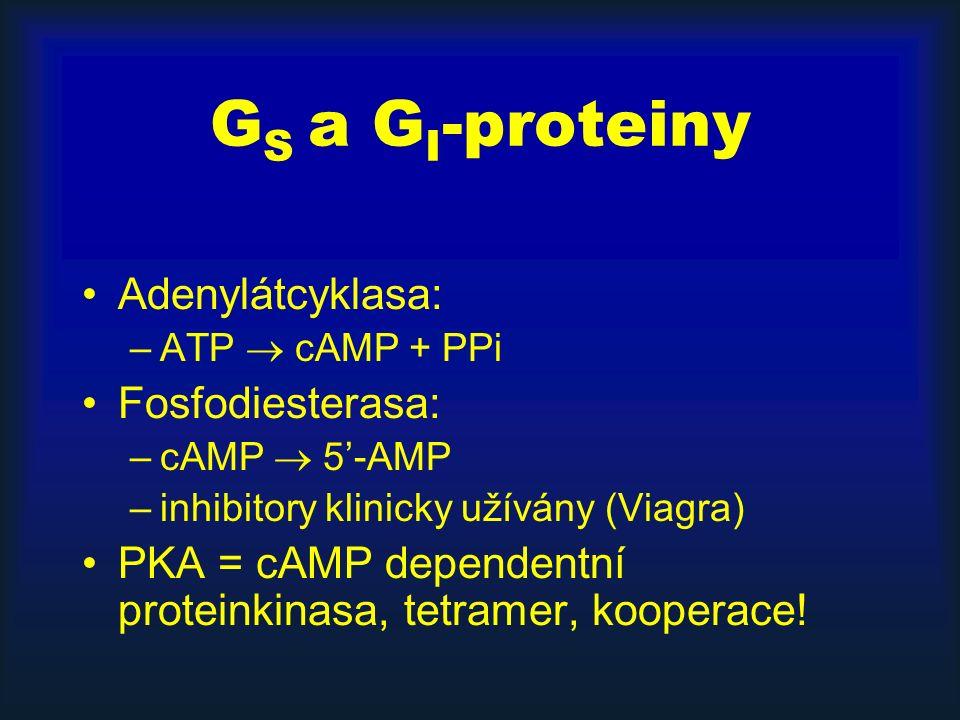G S a G I -proteiny Adenylátcyklasa: –ATP  cAMP + PPi Fosfodiesterasa: –cAMP  5'-AMP –inhibitory klinicky užívány (Viagra) PKA = cAMP dependentní proteinkinasa, tetramer, kooperace!