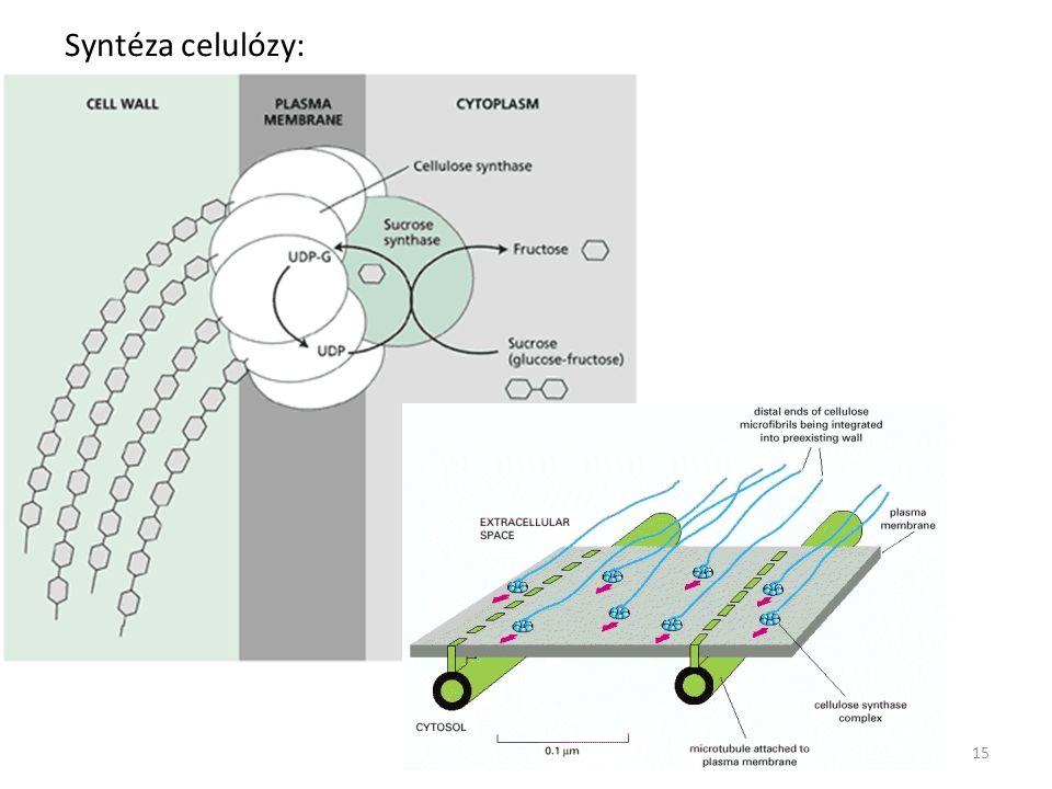 Syntéza celulózy: 15