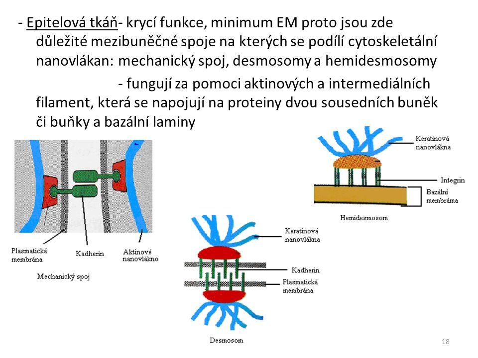 - Epitelová tkáň- krycí funkce, minimum EM proto jsou zde důležité mezibuněčné spoje na kterých se podílí cytoskeletální nanovlákan: mechanický spoj, desmosomy a hemidesmosomy - fungují za pomoci aktinových a intermediálních filament, která se napojují na proteiny dvou sousedních buněk či buňky a bazální laminy 18