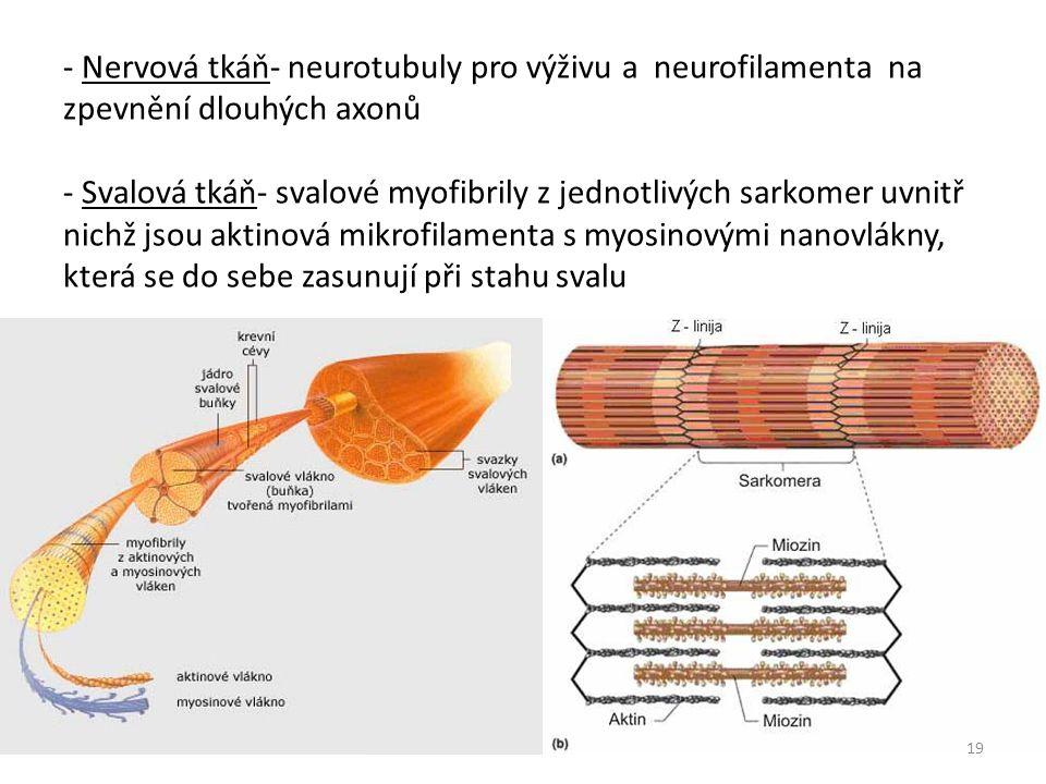 - Nervová tkáň- neurotubuly pro výživu a neurofilamenta na zpevnění dlouhých axonů - Svalová tkáň- svalové myofibrily z jednotlivých sarkomer uvnitř nichž jsou aktinová mikrofilamenta s myosinovými nanovlákny, která se do sebe zasunují při stahu svalu 19