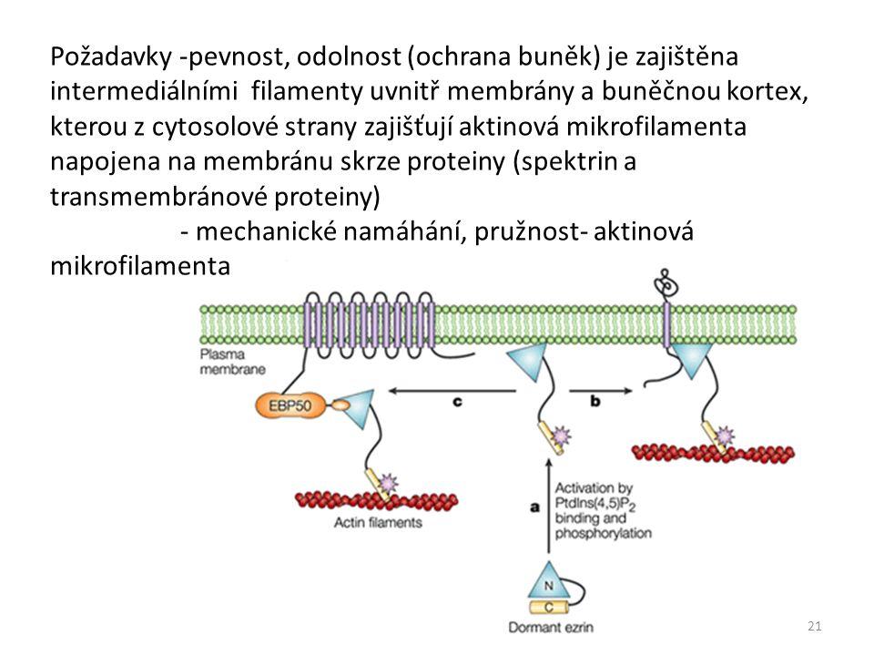 Požadavky -pevnost, odolnost (ochrana buněk) je zajištěna intermediálními filamenty uvnitř membrány a buněčnou kortex, kterou z cytosolové strany zajišťují aktinová mikrofilamenta napojena na membránu skrze proteiny (spektrin a transmembránové proteiny) - mechanické namáhání, pružnost- aktinová mikrofilamenta 21