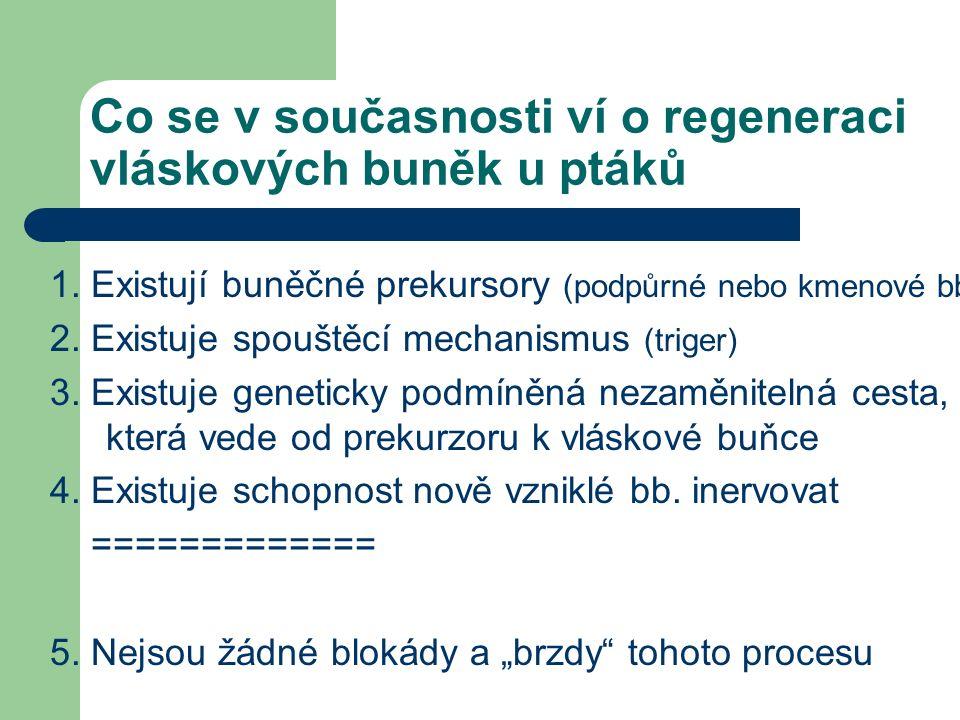 Co se v současnosti ví o regeneraci vláskových buněk u ptáků 1. Existují buněčné prekursory (podpůrné nebo kmenové bb) 2. Existuje spouštěcí mechanism
