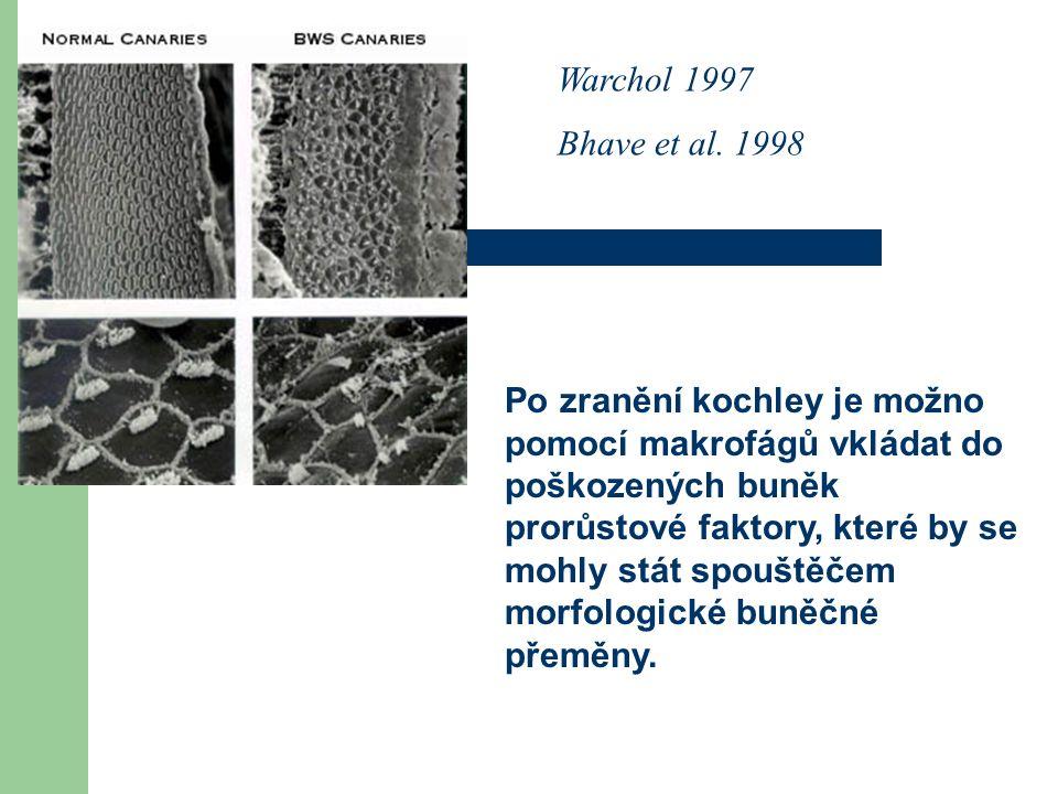 Warchol 1997 Bhave et al. 1998 Po zranění kochley je možno pomocí makrofágů vkládat do poškozených buněk prorůstové faktory, které by se mohly stát sp