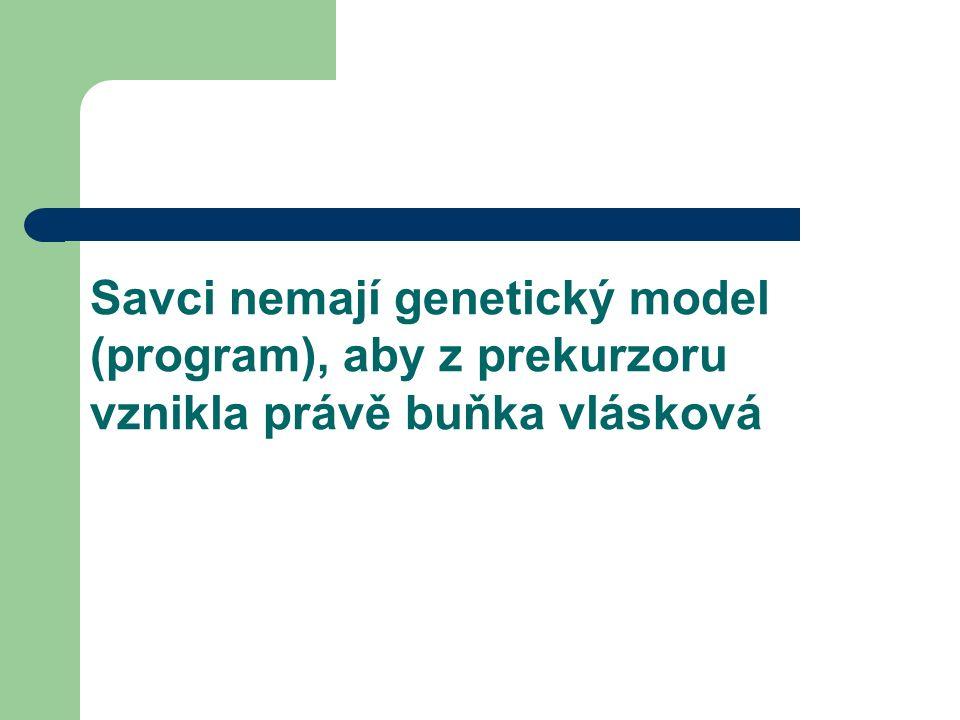 Savci nemají genetický model (program), aby z prekurzoru vznikla právě buňka vlásková