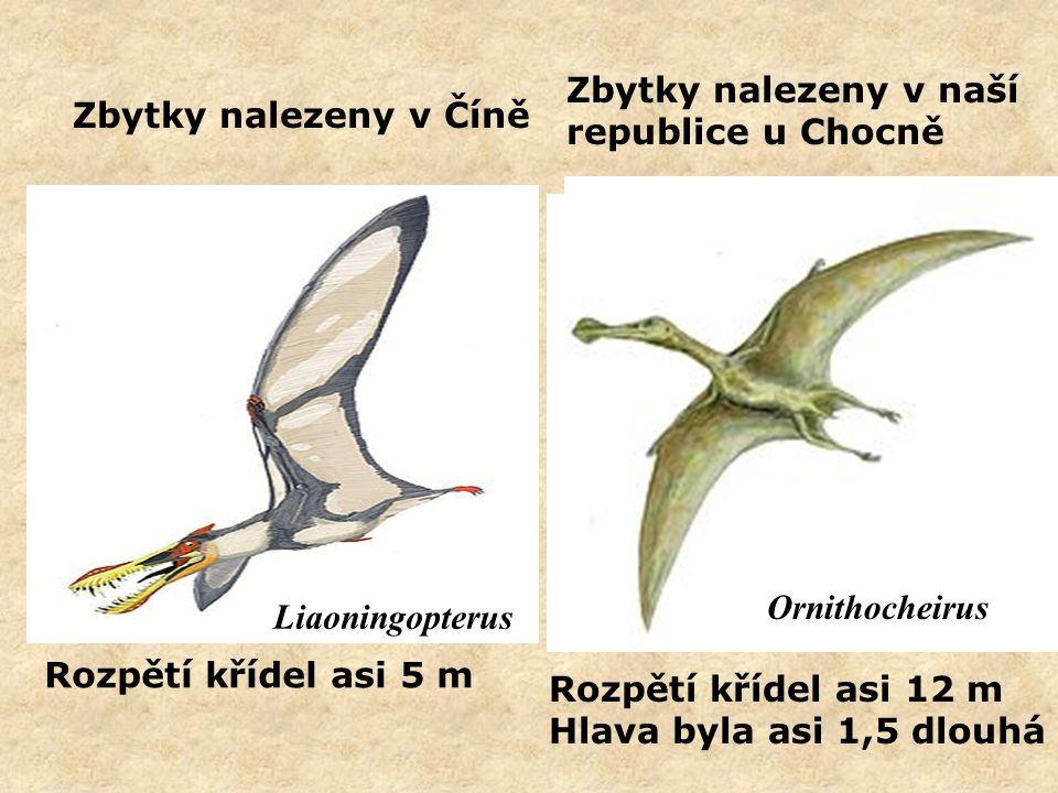 Zbytky nalezeny v naší republice u Chocně Ornithocheirus hlavatschi Rozpětí křídel asi 12 m Hlava byla asi 1,5 dlouhá Ornithocheirus Zbytky nalezeny v