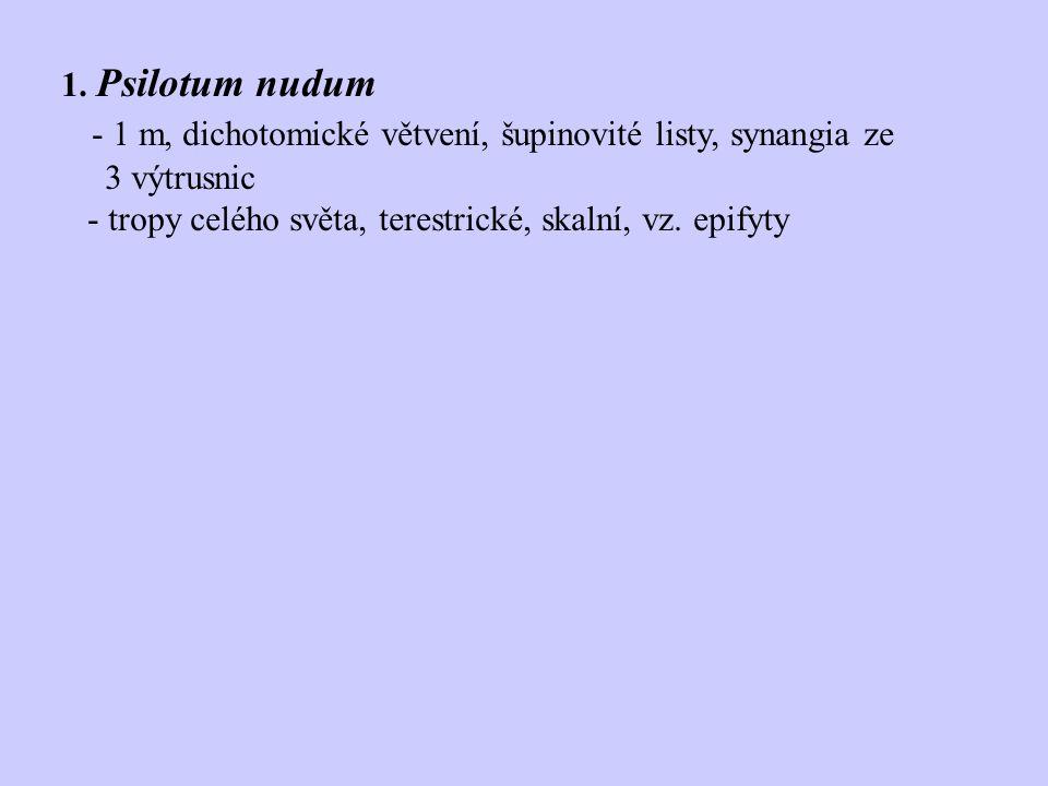1. Psilotum nudum - 1 m, dichotomické větvení, šupinovité listy, synangia ze 3 výtrusnic - tropy celého světa, terestrické, skalní, vz. epifyty