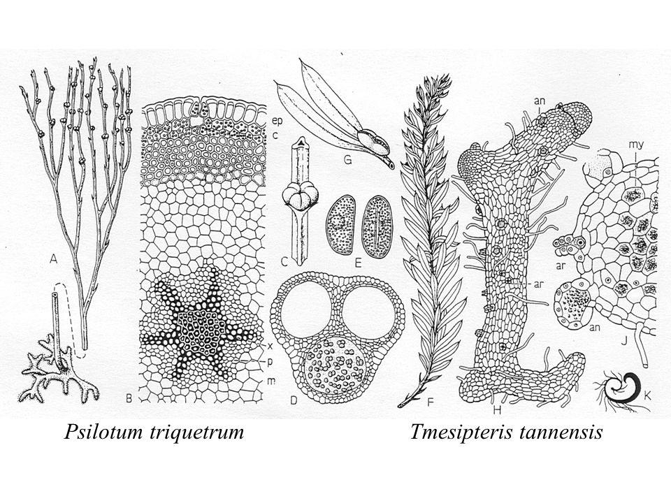 Tmesipteris tannensisPsilotum triquetrum