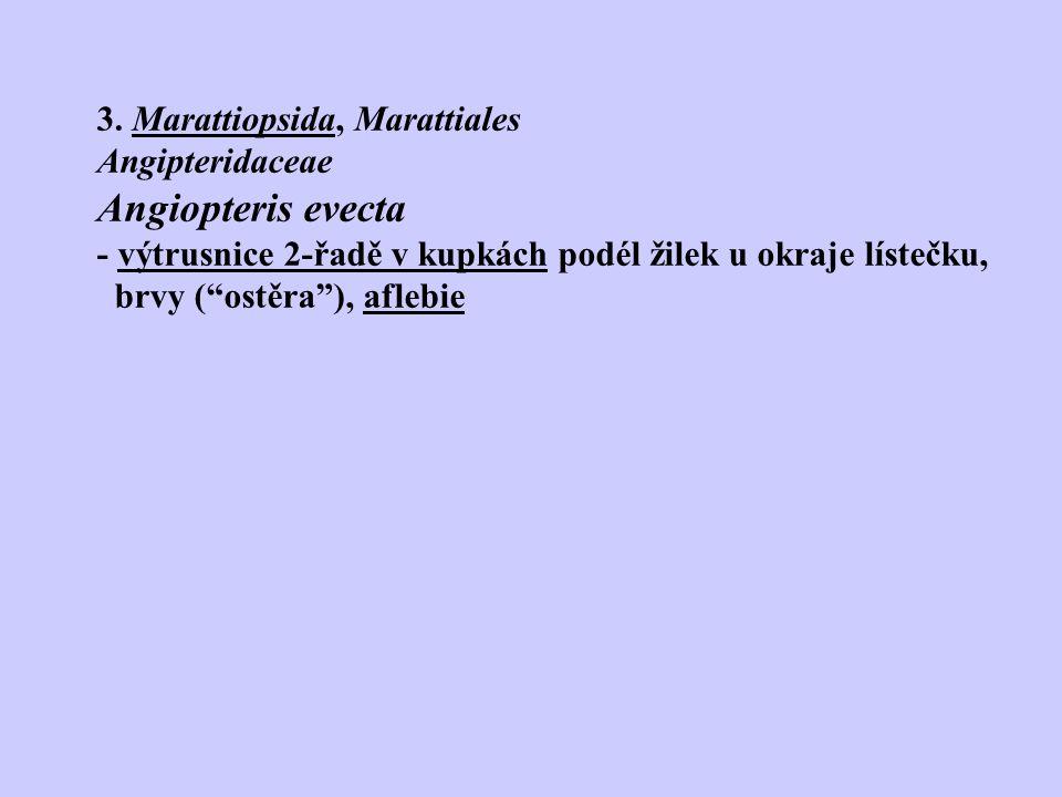 """3. Marattiopsida, Marattiales Angipteridaceae Angiopteris evecta - výtrusnice 2-řadě v kupkách podél žilek u okraje lístečku, brvy (""""ostěra""""), aflebie"""