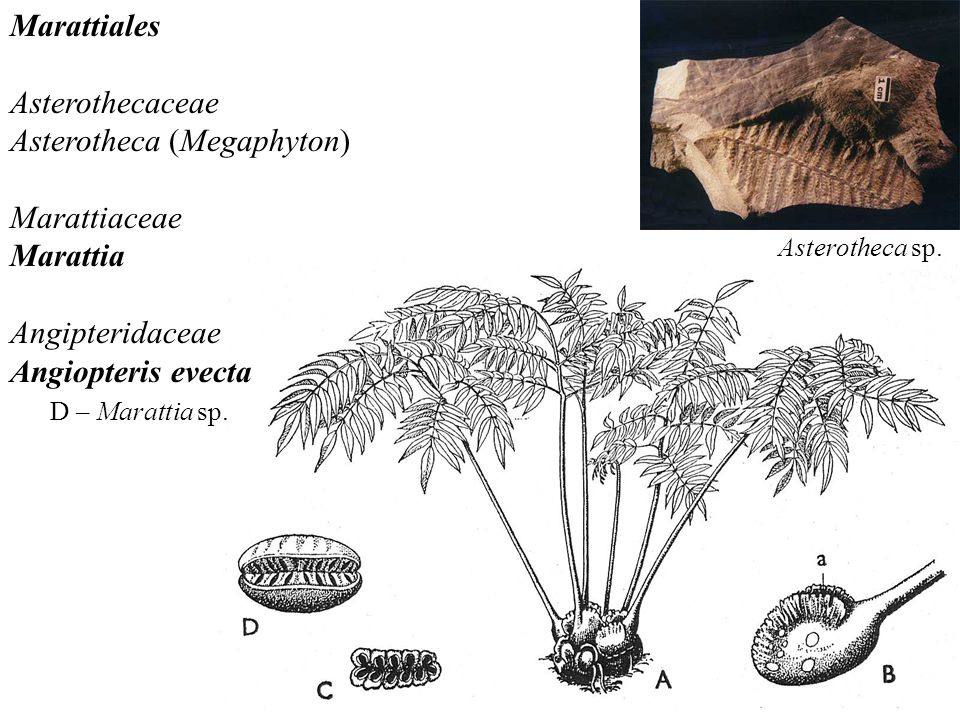 Marattiales Asterothecaceae Asterotheca (Megaphyton) Marattiaceae Marattia Angipteridaceae Angiopteris evecta D – Marattia sp. Asterotheca sp.