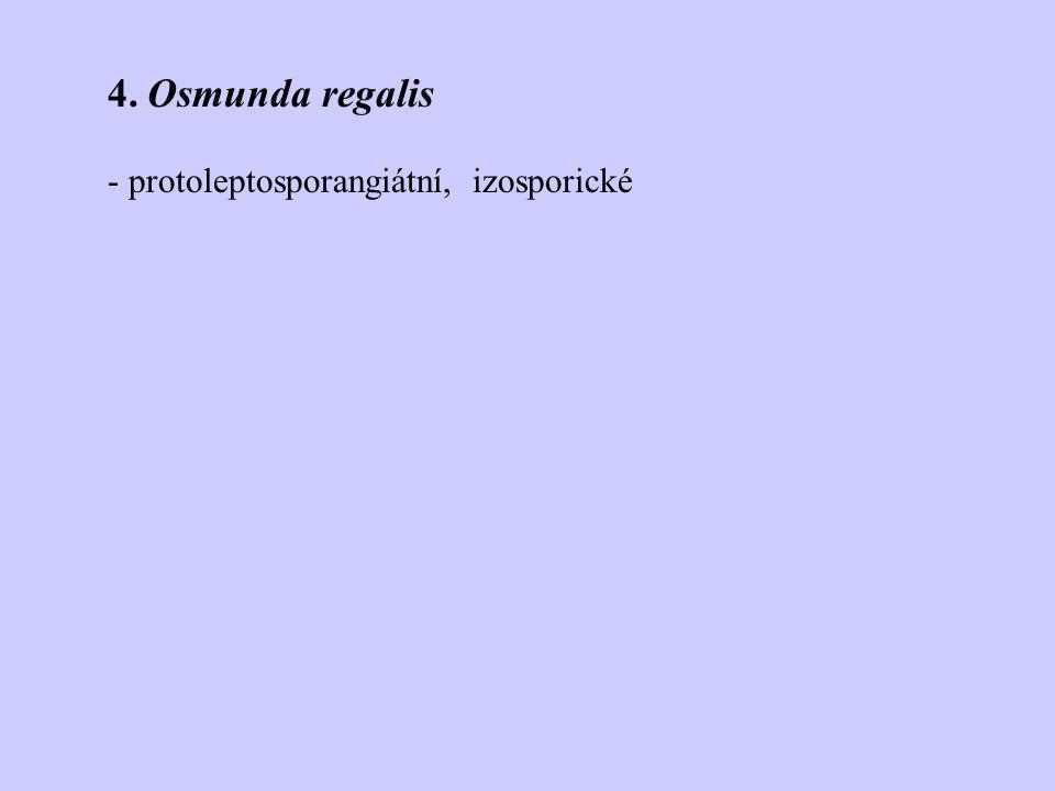 4. Osmunda regalis - protoleptosporangiátní, izosporické