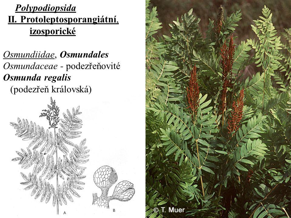 Polypodiopsida II.