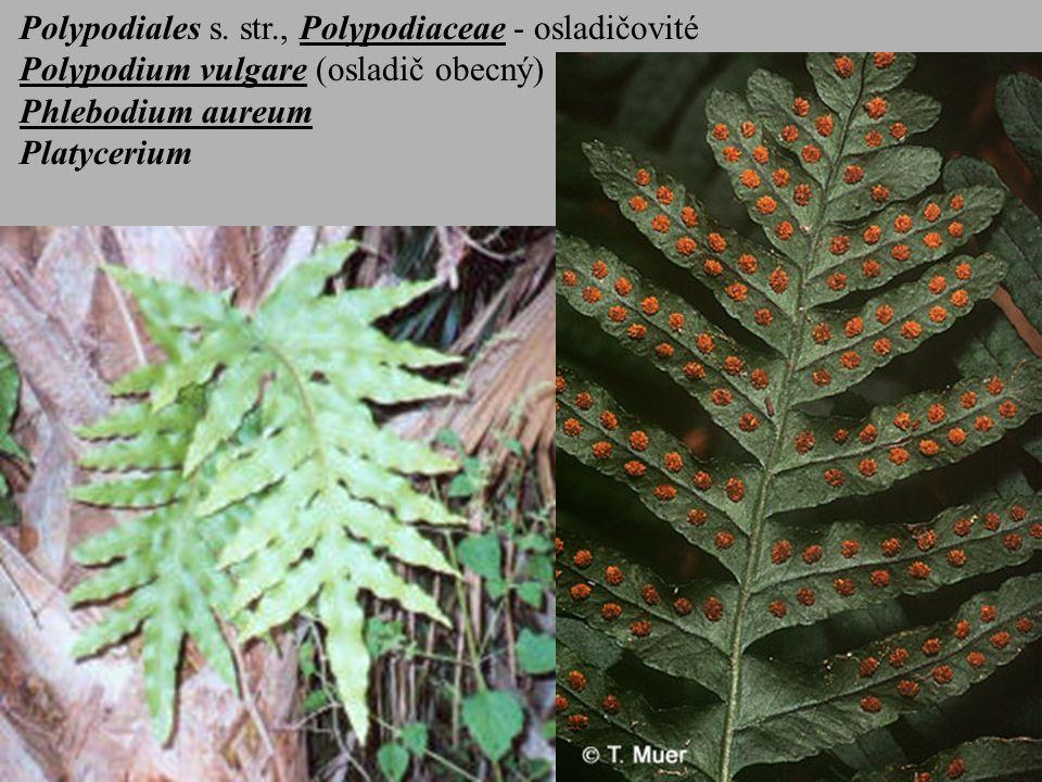 Polypodiales s. str., Polypodiaceae - osladičovité Polypodium vulgare (osladič obecný) Phlebodium aureum Platycerium