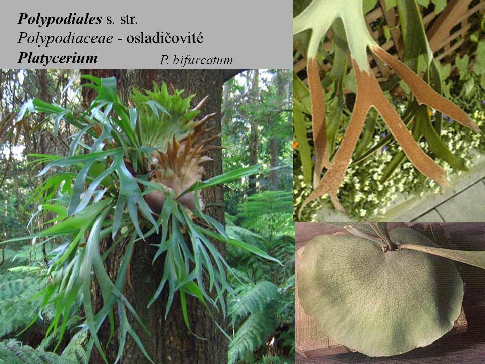 Polypodiales s. str. Polypodiaceae - osladičovité Platycerium P. bifurcatum