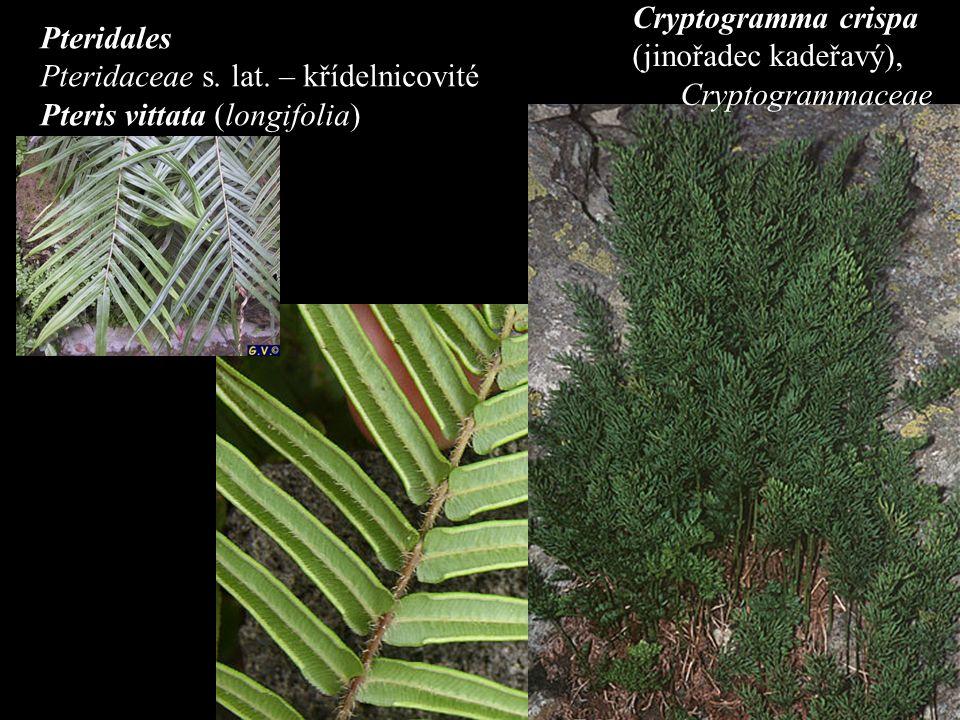 Pteridales Pteridaceae s. lat.