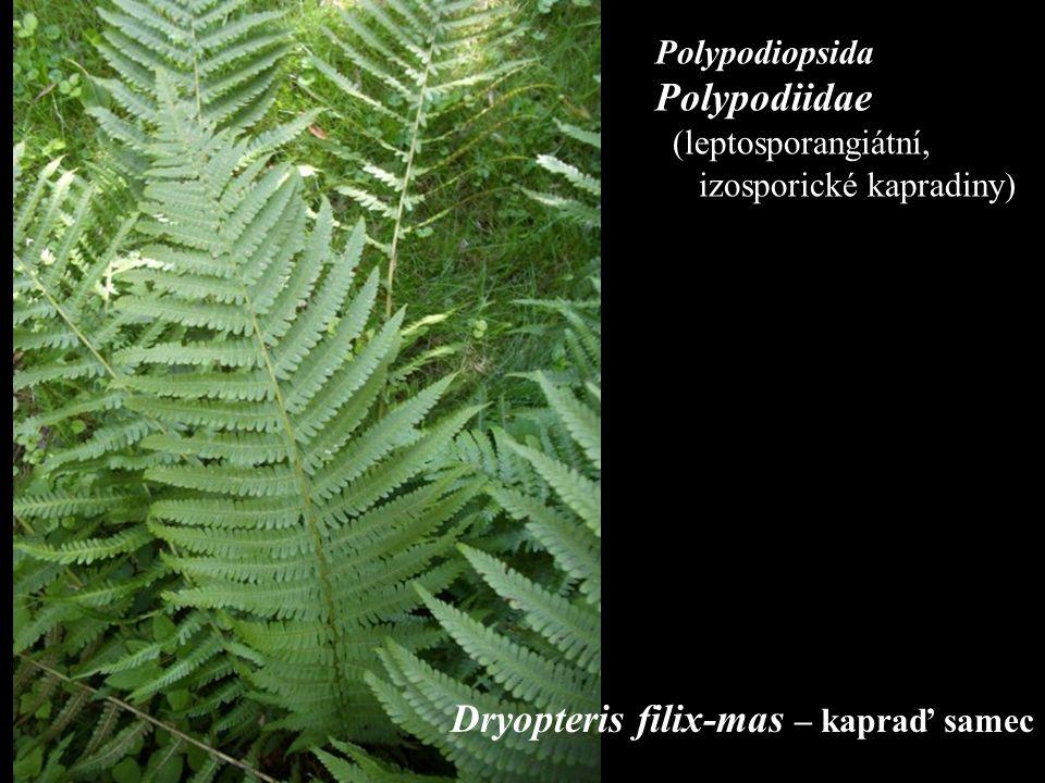 Polypodiopsida Polypodiidae (leptosporangiátní, izosporické kapradiny)) Dryopteris filix-mas – kapraď samec