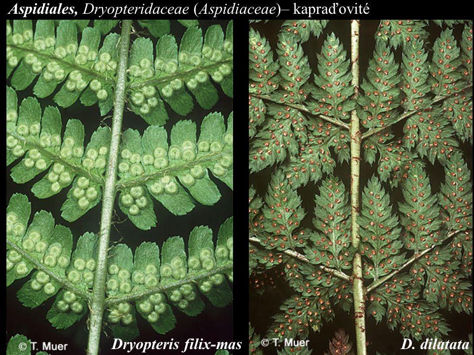 Aspidiales, Dryopteridaceae (Aspidiaceae)– kapraďovité D. dilatataDryopteris filix-mas