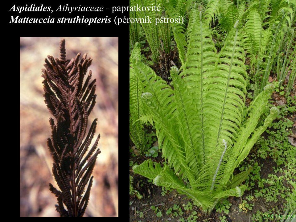 Aspidiales, Athyriaceae - papratkovité Matteuccia struthiopteris (pérovník pštrosí)