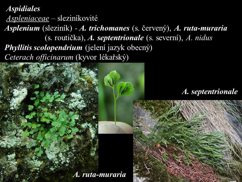 Aspidiales Aspleniaceae – sleziníkovité Asplenium (sleziník) - A.