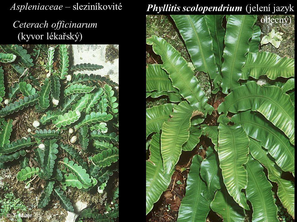 Aspleniaceae – sleziníkovité Ceterach officinarum (kyvor lékařský) Phyllitis scolopendrium (jelení jazyk obecný)