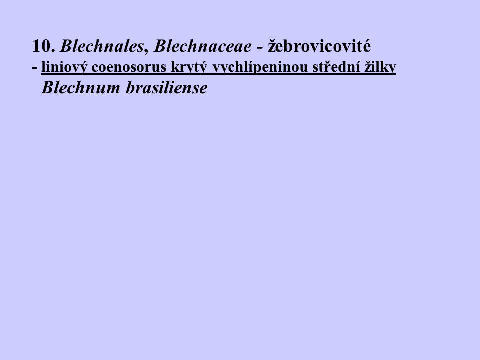 10. Blechnales, Blechnaceae - žebrovicovité - liniový coenosorus krytý vychlípeninou střední žilky Blechnum brasiliense