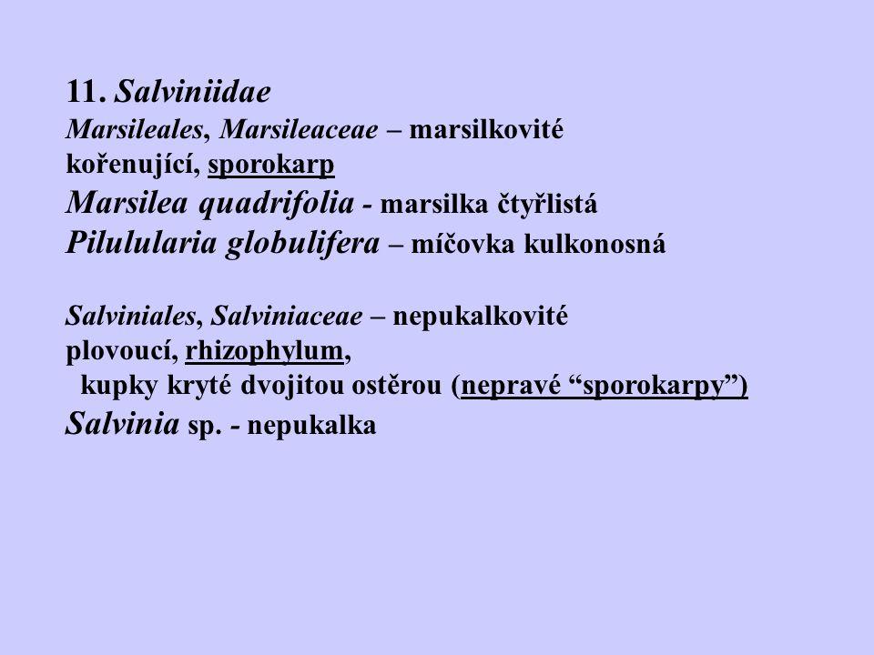 11. Salviniidae Marsileales, Marsileaceae – marsilkovité kořenující, sporokarp Marsilea quadrifolia - marsilka čtyřlistá Pilulularia globulifera – míč