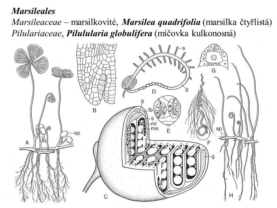 Marsileales Marsileaceae – marsilkovité, Marsilea quadrifolia (marsilka čtyřlistá) Pilulariaceae, Pilulularia globulifera (míčovka kulkonosná)