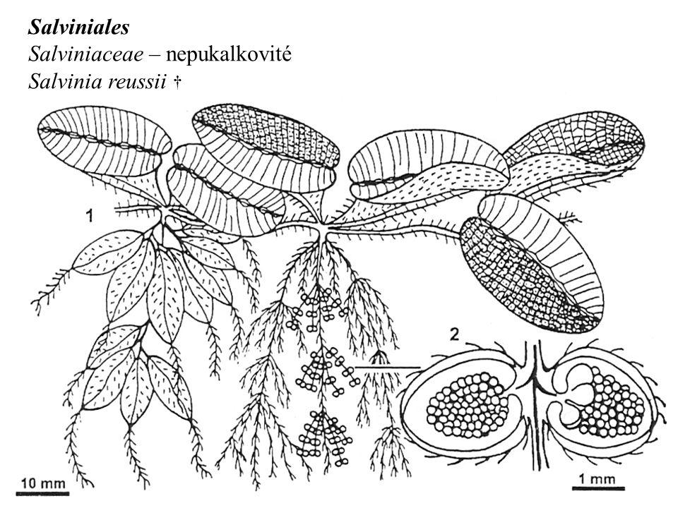 Salviniales Salviniaceae – nepukalkovité Salvinia reussii †