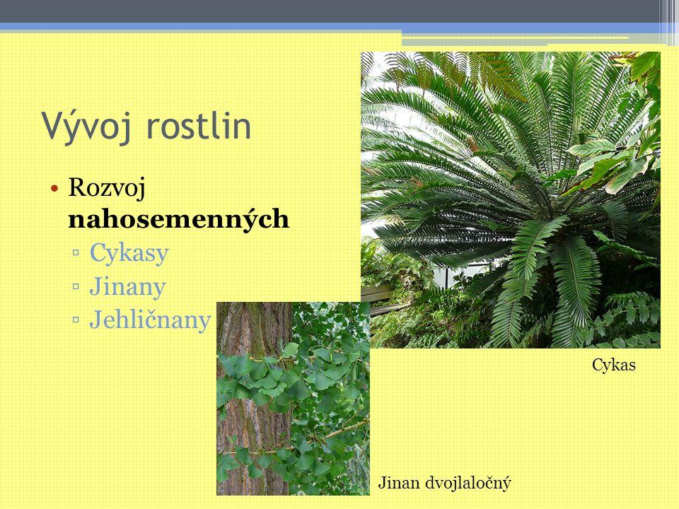 Vývoj rostlin Rozvoj nahosemenných ▫Cykasy ▫Jinany ▫Jehličnany Cykas Jinan dvojlaločný