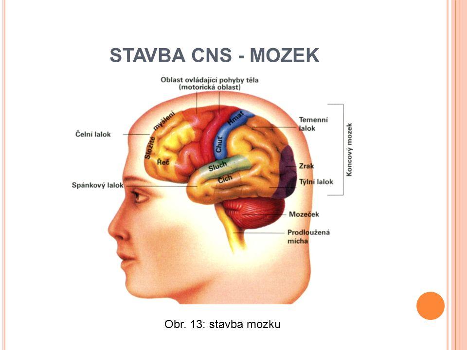 Obr. 13: stavba mozku