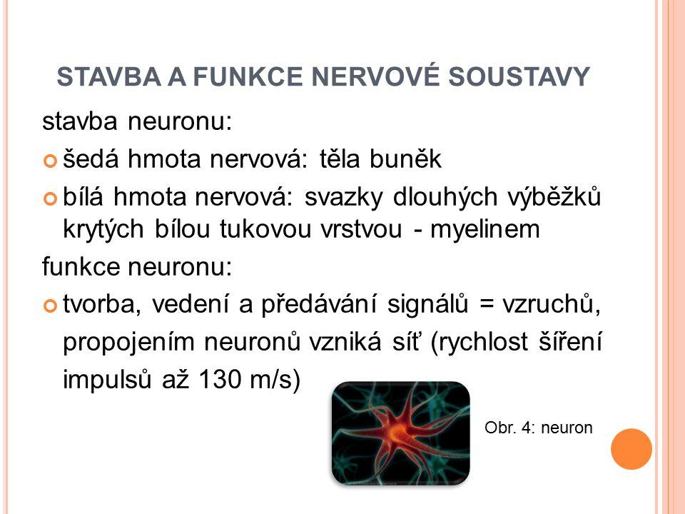 stavba neuronu: šedá hmota nervová: těla buněk bílá hmota nervová: svazky dlouhých výběžků krytých bílou tukovou vrstvou - myelinem funkce neuronu: tv