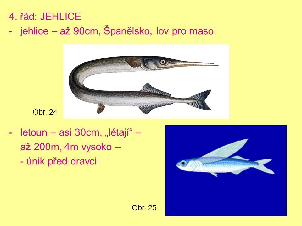 """4. řád: JEHLICE -jehlice – až 90cm, Španělsko, lov pro maso -letoun – asi 30cm, """"létají"""" – až 200m, 4m vysoko – - únik před dravci Obr. 24 Obr. 25"""