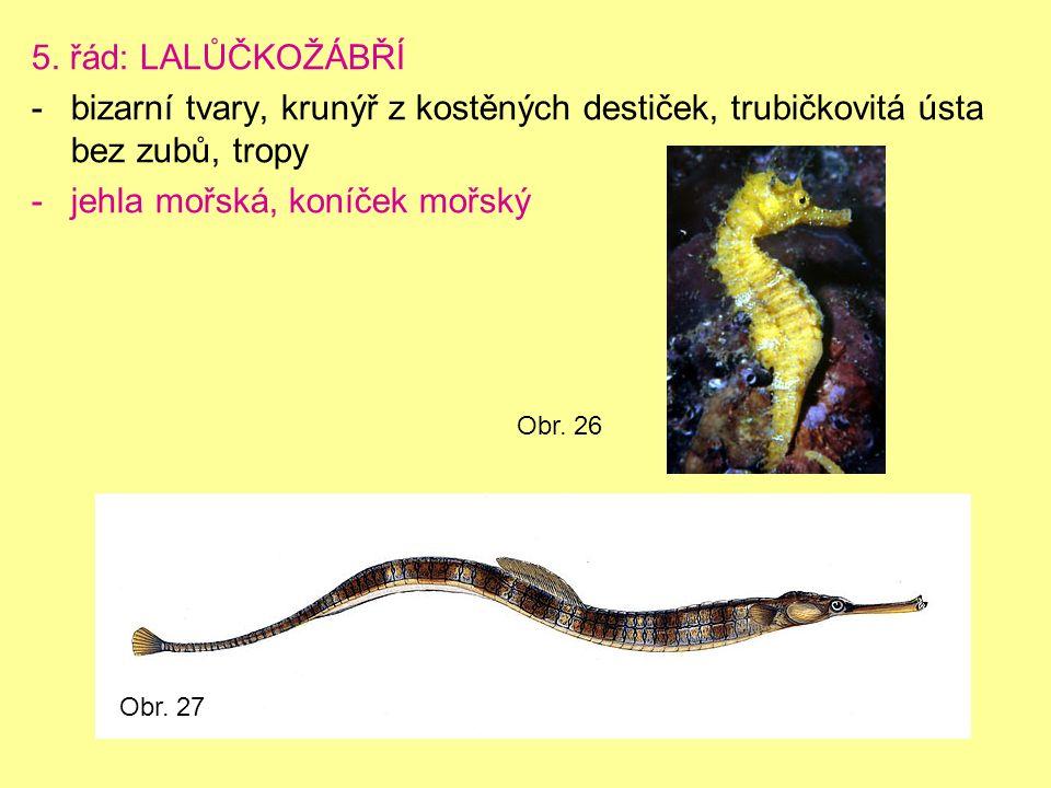 5. řád: LALŮČKOŽÁBŘÍ -bizarní tvary, krunýř z kostěných destiček, trubičkovitá ústa bez zubů, tropy -jehla mořská, koníček mořský Obr. 26 Obr. 27