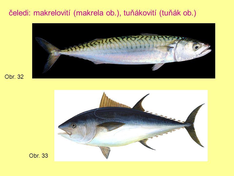 čeledi: makrelovití (makrela ob.), tuňákovití (tuňák ob.) Obr. 32 Obr. 33