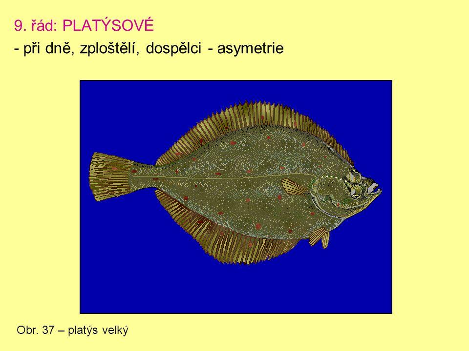 9. řád: PLATÝSOVÉ - při dně, zploštělí, dospělci - asymetrie Obr. 37 – platýs velký