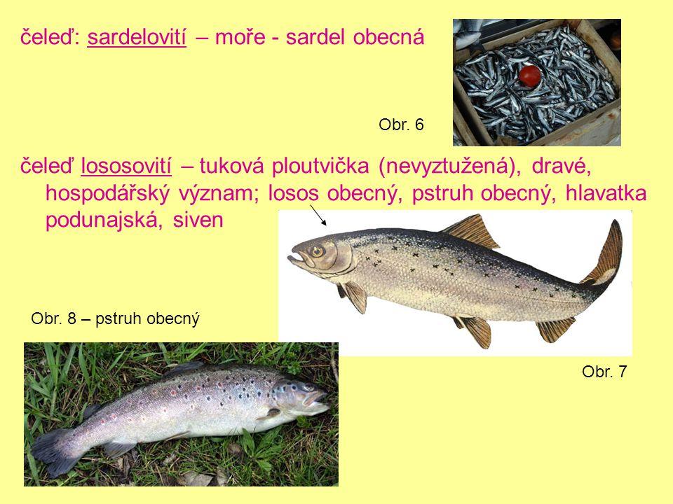 čeleď: sardelovití – moře - sardel obecná čeleď lososovití – tuková ploutvička (nevyztužená), dravé, hospodářský význam; losos obecný, pstruh obecný, hlavatka podunajská, siven Obr.