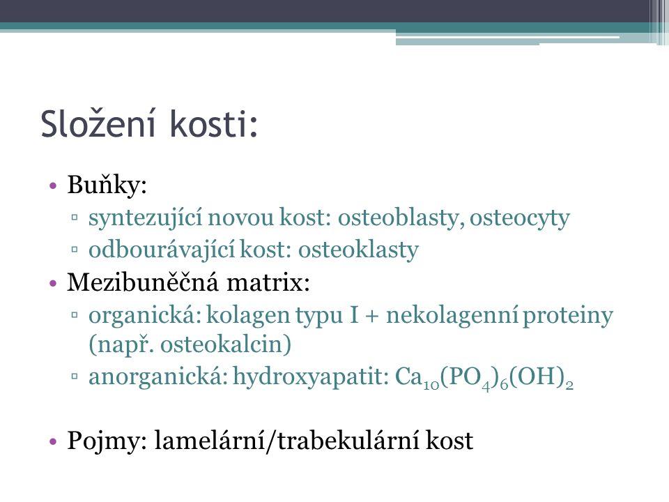 Složení kosti: Buňky: ▫syntezující novou kost: osteoblasty, osteocyty ▫odbourávající kost: osteoklasty Mezibuněčná matrix: ▫organická: kolagen typu I + nekolagenní proteiny (např.