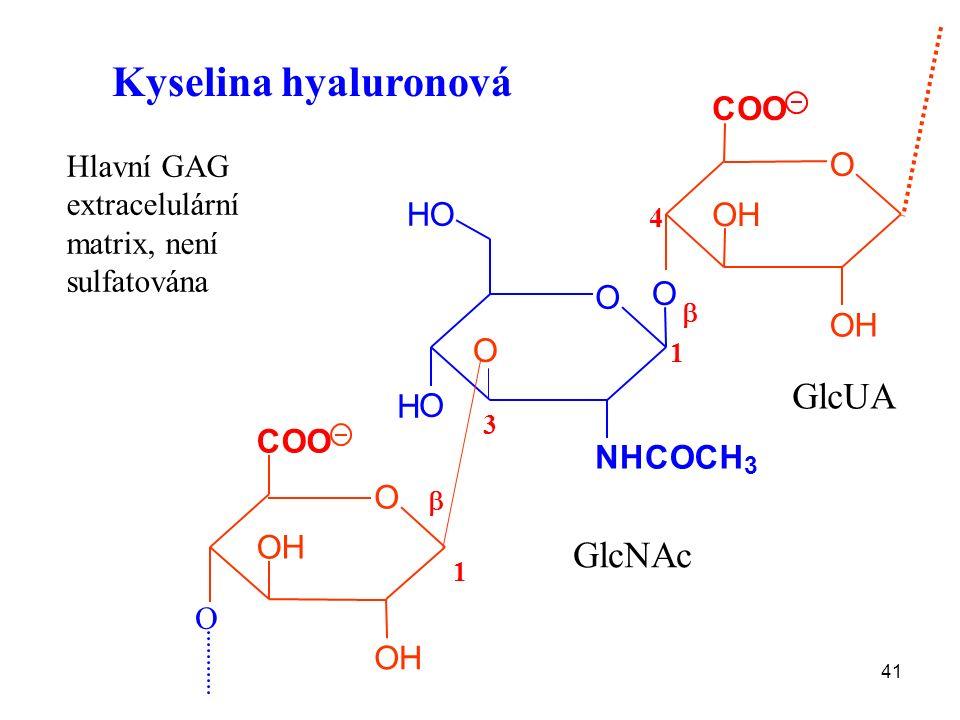 41 Kyselina hyaluronová O H O HO O NHCOCH 3 O O OH OH COO  3 1 4 1 O O OH OH COO  GlcNAc GlcUA Hlavní GAG extracelulární matrix, není sulfatována