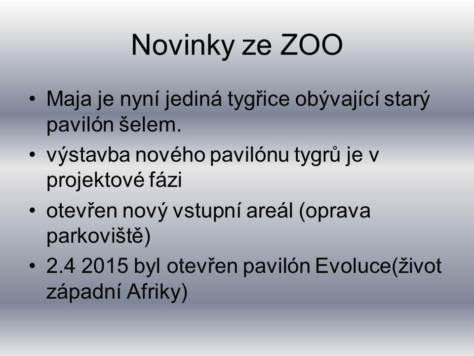 Novinky ze ZOO Maja je nyní jediná tygřice obývající starý pavilón šelem.