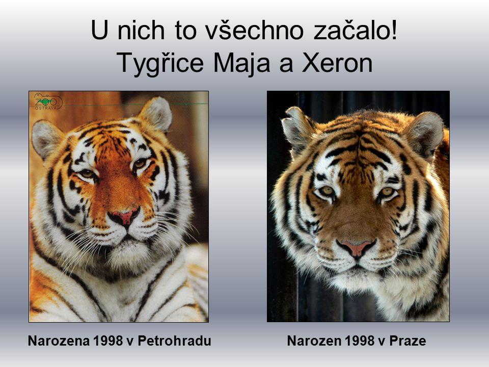 U nich to všechno začalo! Tygřice Maja a Xeron Narozena 1998 v PetrohraduNarozen 1998 v Praze