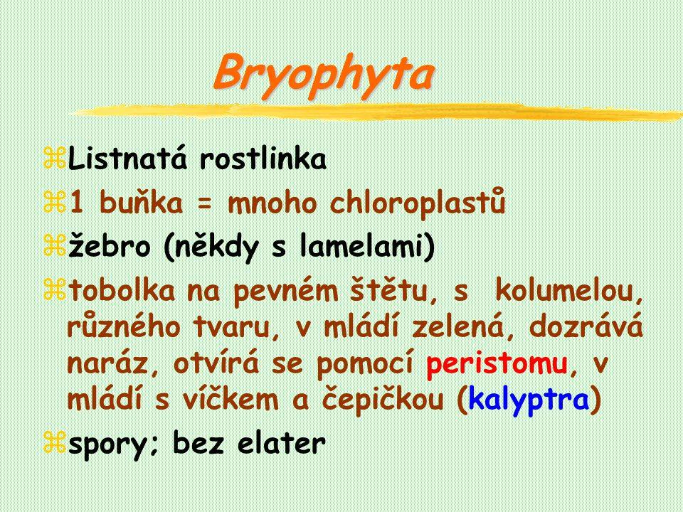 zListnatá rostlinka z1 buňka = mnoho chloroplastů zžebro (někdy s lamelami) ztobolka na pevném štětu, s kolumelou, různého tvaru, v mládí zelená, dozrává naráz, otvírá se pomocí peristomu, v mládí s víčkem a čepičkou (kalyptra) zspory; bez elater Bryophyta
